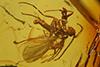 http://mczbase.mcz.harvard.edu/specimen_images/entomology/paleo/large/PALE-18272_syn1_Sciaridae.jpg