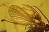 http://mczbase.mcz.harvard.edu/specimen_images/entomology/paleo/large/PALE-18272_syn2_Acari.jpg