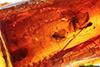 http://mczbase.mcz.harvard.edu/specimen_images/entomology/paleo/large/PALE-18289_Chironomidae.jpg