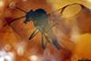 http://mczbase.mcz.harvard.edu/specimen_images/entomology/paleo/large/PALE-18294_Atriculicoides_globosus.jpg