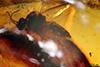 http://mczbase.mcz.harvard.edu/specimen_images/entomology/paleo/large/PALE-18298_Atriculicoides_globosus.jpg