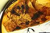http://mczbase.mcz.harvard.edu/specimen_images/entomology/paleo/large/PALE-18300_Atriculicoides_globosus.jpg