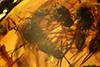 http://mczbase.mcz.harvard.edu/specimen_images/entomology/paleo/large/PALE-18300_syn8_Atriculicoides_globosus.jpg