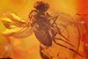 http://mczbase.mcz.harvard.edu/specimen_images/entomology/paleo/large/PALE-18303_Dolichopodidae.jpg