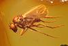 http://mczbase.mcz.harvard.edu/specimen_images/entomology/paleo/large/PALE-18309_Dolichopodidae.jpg