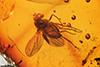 http://mczbase.mcz.harvard.edu/specimen_images/entomology/paleo/large/PALE-18311_Dolichopodidae.jpg