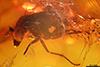http://mczbase.mcz.harvard.edu/specimen_images/entomology/paleo/large/PALE-18312_Dolichopodidae_qm.jpg