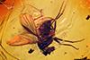 http://mczbase.mcz.harvard.edu/specimen_images/entomology/paleo/large/PALE-18314_Dolichopodidae.jpg