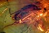 http://mczbase.mcz.harvard.edu/specimen_images/entomology/paleo/large/PALE-18324_Dolichopodidae.jpg