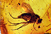 http://mczbase.mcz.harvard.edu/specimen_images/entomology/paleo/large/PALE-18342_Dolichopodidae.jpg