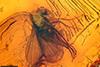 http://mczbase.mcz.harvard.edu/specimen_images/entomology/paleo/large/PALE-18345_Dolichopodidae.jpg