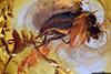 http://mczbase.mcz.harvard.edu/specimen_images/entomology/paleo/large/PALE-18346_Dolichopodidae.jpg