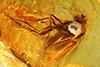 http://mczbase.mcz.harvard.edu/specimen_images/entomology/paleo/large/PALE-18347_Dolichopodidae.jpg