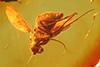 http://mczbase.mcz.harvard.edu/specimen_images/entomology/paleo/large/PALE-18353_Dolichopodidae.jpg