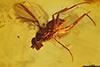 http://mczbase.mcz.harvard.edu/specimen_images/entomology/paleo/large/PALE-18354_Dolichopodidae.jpg