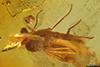http://mczbase.mcz.harvard.edu/specimen_images/entomology/paleo/large/PALE-18355_Dolichopodidae.jpg