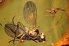 http://mczbase.mcz.harvard.edu/specimen_images/entomology/paleo/large/PALE-18363_Dolichopodidae.jpg