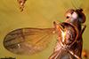 http://mczbase.mcz.harvard.edu/specimen_images/entomology/paleo/large/PALE-18363_syn1_Dolichopodidae.jpg