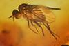 http://mczbase.mcz.harvard.edu/specimen_images/entomology/paleo/large/PALE-18372_Porphyrops_inclytus.jpg