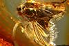 http://mczbase.mcz.harvard.edu/specimen_images/entomology/paleo/large/PALE-18377_syn1_Dolichopodidae.jpg
