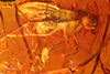 http://mczbase.mcz.harvard.edu/specimen_images/entomology/paleo/large/PALE-18392_Medeterinae.jpg