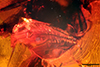 http://mczbase.mcz.harvard.edu/specimen_images/entomology/paleo/large/PALE-18393_Brachycera_1.jpg