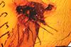 http://mczbase.mcz.harvard.edu/specimen_images/entomology/paleo/large/PALE-18393_Brachycera_2.jpg