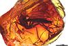 http://mczbase.mcz.harvard.edu/specimen_images/entomology/paleo/large/PALE-18413_Mycetophilidae.jpg