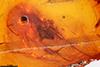 http://mczbase.mcz.harvard.edu/specimen_images/entomology/paleo/large/PALE-18414_Mycetophilidae.jpg