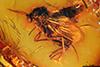 http://mczbase.mcz.harvard.edu/specimen_images/entomology/paleo/large/PALE-18417_Mycetophilidae.jpg