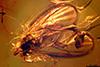 http://mczbase.mcz.harvard.edu/specimen_images/entomology/paleo/large/PALE-18419_syn3_Mycetophilidae.jpg