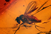 http://mczbase.mcz.harvard.edu/specimen_images/entomology/paleo/large/PALE-18425_Dolichopodidae.jpg