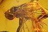http://mczbase.mcz.harvard.edu/specimen_images/entomology/paleo/large/PALE-18426_Dolichopodidae.jpg
