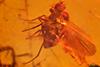 http://mczbase.mcz.harvard.edu/specimen_images/entomology/paleo/large/PALE-18427_Dolichopodidae.jpg