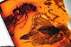 http://mczbase.mcz.harvard.edu/specimen_images/entomology/paleo/large/PALE-18429_Prohercostomus_sp.jpg