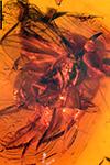 http://mczbase.mcz.harvard.edu/specimen_images/entomology/paleo/large/PALE-18431_Dolichopodidae.jpg