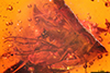 http://mczbase.mcz.harvard.edu/specimen_images/entomology/paleo/large/PALE-18434_Palaeomedeterus_ignavus.jpg