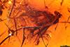 http://mczbase.mcz.harvard.edu/specimen_images/entomology/paleo/large/PALE-18435_Palaeomedeterus_ignavus.jpg