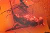http://mczbase.mcz.harvard.edu/specimen_images/entomology/paleo/large/PALE-18445_Prohercostomus_noxialis.jpg