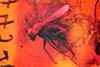http://mczbase.mcz.harvard.edu/specimen_images/entomology/paleo/large/PALE-18453_Dolichopodidae.jpg