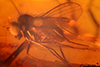 http://mczbase.mcz.harvard.edu/specimen_images/entomology/paleo/large/PALE-18461_syn1_Dolichopodidae.jpg