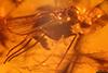 http://mczbase.mcz.harvard.edu/specimen_images/entomology/paleo/large/PALE-18461_syn2_Dolichopodidae.jpg