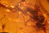 http://mczbase.mcz.harvard.edu/specimen_images/entomology/paleo/large/PALE-18461_syn3_Dolichopodidae.jpg