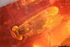 http://mczbase.mcz.harvard.edu/specimen_images/entomology/paleo/large/PALE-18464_syn2_Dolichopodidae.jpg