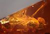 http://mczbase.mcz.harvard.edu/specimen_images/entomology/paleo/large/PALE-18464_syn4_Dolichopodidae.jpg