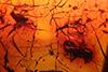 http://mczbase.mcz.harvard.edu/specimen_images/entomology/paleo/large/PALE-18476_Dolichopodidae.jpg