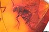 http://mczbase.mcz.harvard.edu/specimen_images/entomology/paleo/large/PALE-18481_Dolichopodidae.jpg