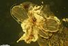 http://mczbase.mcz.harvard.edu/specimen_images/entomology/paleo/large/PALE-18492_Aphidiinae.jpg
