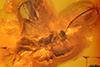 http://mczbase.mcz.harvard.edu/specimen_images/entomology/paleo/large/PALE-18493_Agathidinae.jpg