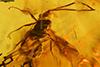 http://mczbase.mcz.harvard.edu/specimen_images/entomology/paleo/large/PALE-18500_Ichneumonidae.jpg